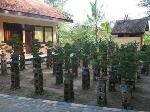 Cemara udang kecil di Lombang